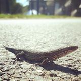 A lizards pose Royalty Free Stock Images