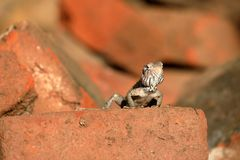 Lizards and reptiles in Sri Lanka Royalty Free Stock Images