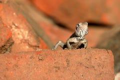 Lizards and reptiles in Sri Lanka Stock Image