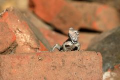 Lizards and reptiles in Sri Lanka Royalty Free Stock Photography