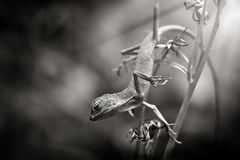 The Lizards sleep beauty. Lizards are a widespread group of squamate reptiles, with over 6,000 species,[1] ranging across all continents except Antarctica, as stock photos
