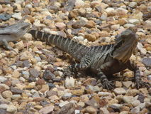 Lizards in the sun. Lizards baking in the sun royalty free stock photography
