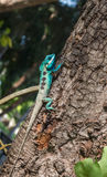Lizards in thailand. Male lizards colorful in thailand Royalty Free Stock Image