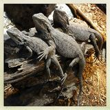 Lizards. Three lizards together on wood royalty free stock photos