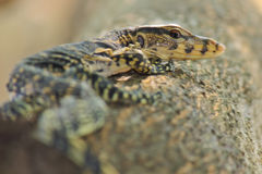 Lizard Closeup  on tree background Royalty Free Stock Photography