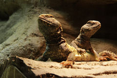 Lizards: Two central bearded dragons. Two agamid lizards - central bearded dragons Stock Photos
