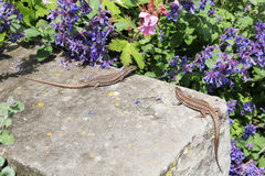 Lizards. Two large lizards basking in the sun Royalty Free Stock Photo