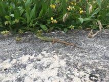 Lizards. Two lizards into the wild on grey rocks stock image