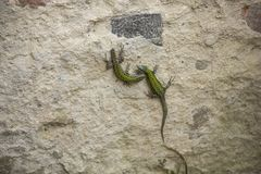 Lizards on wall. Two lizards on an ancient wall stock images