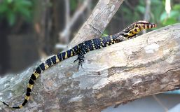Lizards are a widespread group of squamate reptiles.  stock photos