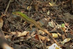 Lacerta is a genus of lizards of the family Lacertidae. Lizards are a widespread group of squamate reptiles stock images