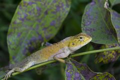 Lizards Stock Image