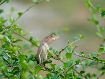 Lizards. Are a widespread group of squamate reptiles, with over 6,000 species,ranging across all continents except Antarctica, as well as most oceanic island Stock Image