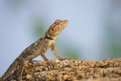 The Rock Star. Lizards are a widespread group of squamate reptiles, with over 6,000 species, ranging across all continents except Antarctica, as well as most royalty free stock photos