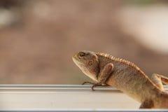 Lizart op venster Stock Afbeeldingen