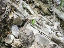 Lizrd nelle rocce Immagini Stock Libere da Diritti