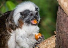 Lizt-Affe, der sein Mittagessen enyoing ist Stockbilder