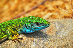 Lizzard Fotografia Stock