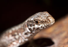 Lizzard Royalty Free Stock Images