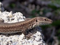 Lizzard Stock Photo