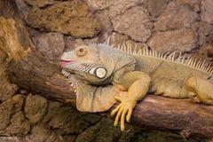 Lizzard. Big carribean reptile zoo Royalty Free Stock Image