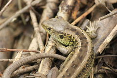 lizzard Stockbild