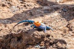 蜥蜴蜥蜴或共同的红发岩石lizzard 免版税库存图片