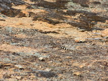 Lizzard. In Australia Royalty Free Stock Photography