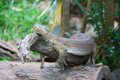 Lizzard Stock Images