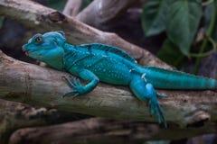Lizzard bleu de dragon Photographie stock libre de droits