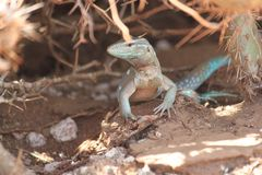 Lizzard. In curacau Royalty Free Stock Images