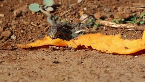 Lizzard, das outisde isst stock footage