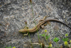 Lizzard in der Sonne Stockbilder