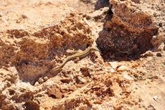 Lizzard en sable Image stock