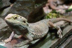 Lizzard en un parque zoológico foto de archivo