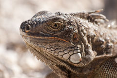 Lizzard head. Picture of a male lizzard's head taken on Palm Beach in Aruba during preparations for feeding royalty free stock photo