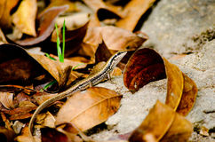 Lizzard on the leaf Stock Images