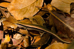 Lizzard on the leaf Royalty Free Stock Photography