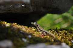 Lizzard on moss Royalty Free Stock Photography