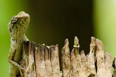 Lizzard op de boom Stock Afbeelding