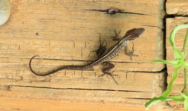 Lizzard on plank stock image