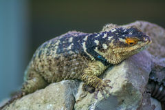 Lizzard resting on a rock. In the zoo garden royalty free stock images