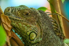 Lizzard resting on a tree. A closeup view Stock Photo