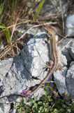 Lizzard on a rock Royalty Free Stock Photo