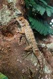 Lizzard sammanträde på träd på den lösa skogen Arkivfoto