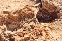 Lizzard in sand Stock Image