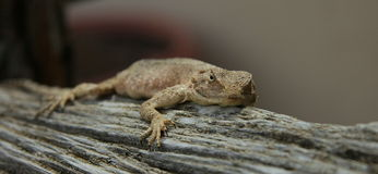 Lizzard on sneezewood. A pregnant girdle lizzard lying on a branch Royalty Free Stock Photo