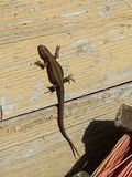 Lizzard Stock Photography