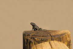 Lizzard in Sun Stock Images