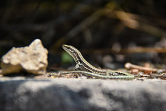 Lizzard in the sun. On a rock Royalty Free Stock Images